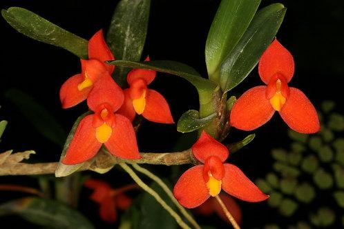 Maxilaria sophronitis
