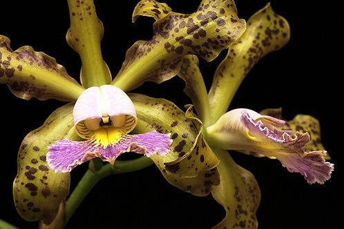 Cattleya Schilleriana var. coerulea