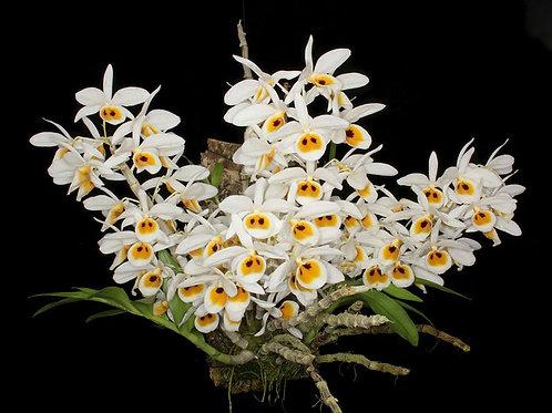 Dendrobium bensiniae