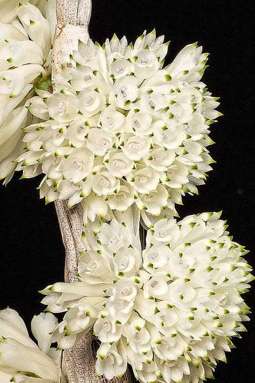 Dendrobium purpureum var álbum