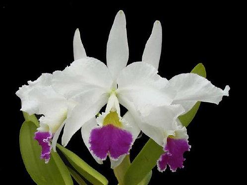 Cattleya warneri var. semi alba