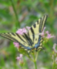 Marie-George Sérié - Alexanor (Papilio a