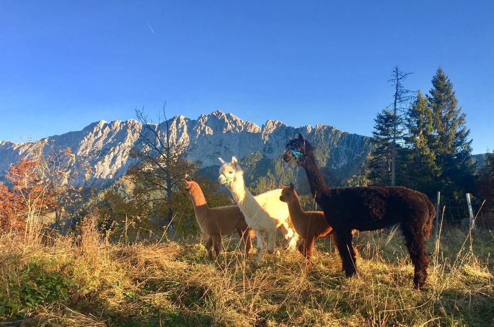 Ламы Альпы