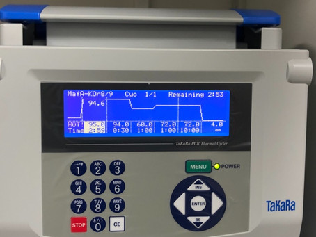 The first PCR for genotype