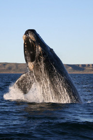 Southern_right_whale.jpg