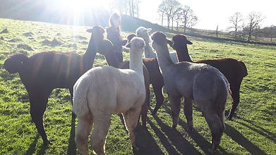 Paige meeting and greeting our alpacas, she has food to give gthem so she is very popular