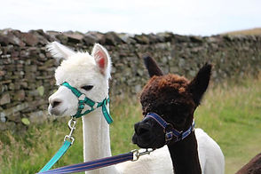 Icarus our wite alpava an Idris our brindle brown alpaca