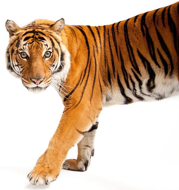 Joel Sartore Tiger cropped.jpg