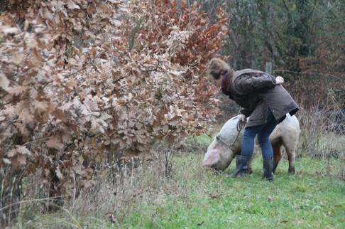 Cavage avec un cochon