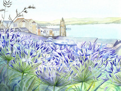 131 Agapanthus at the boat park, Swanage