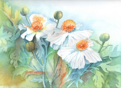 94. White Poppies