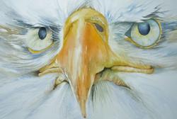 1. Bald Headed Eagle