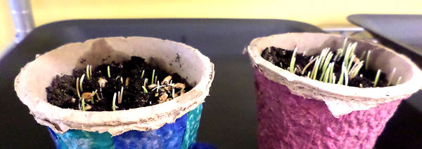 Potted plants with sprouts growing