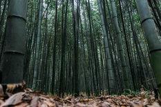 The bamboo grove