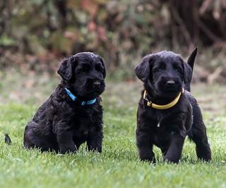 How cute they are! (5 weeks old gangstas