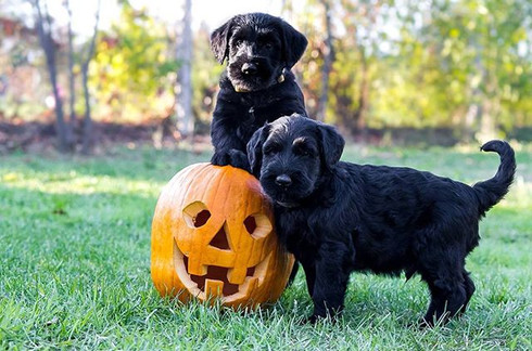 Happy Halloween__#halloween #puppies #gi