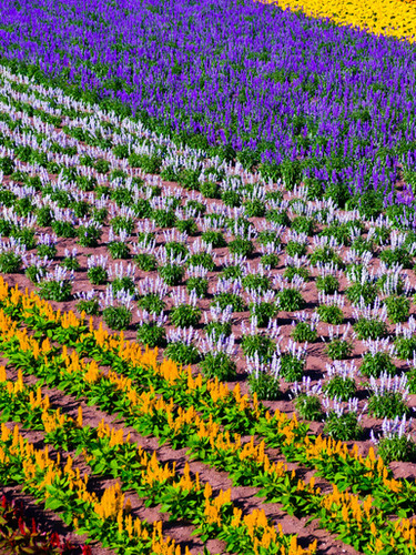 Niseko in bloom - beautiful flowers of Hokkaido
