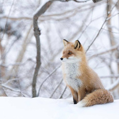 Niseko Fox in the snow