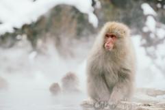 Onsen Monkeys in Hokkaido