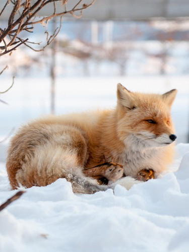 Wild Life everywhere - The Fox