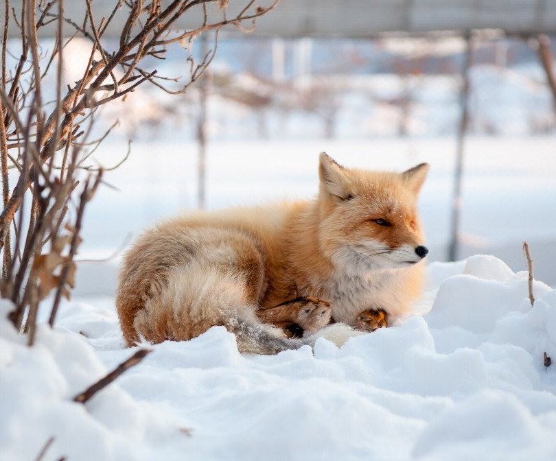 Wild Life everywhere - The Fox