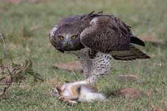 Martial Eagle on Hare (Stratton Hatfield).JPG
