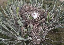 Tawny eagle chick.jpeg