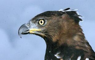 Crowned Eagle Magu1Ap051.jpg