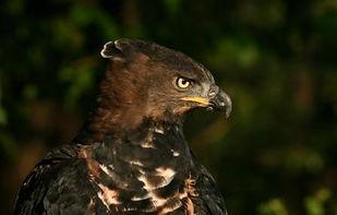 Crowned Eagle.jpg