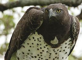 Martial-Eagle-Female_acqrs9.jpg