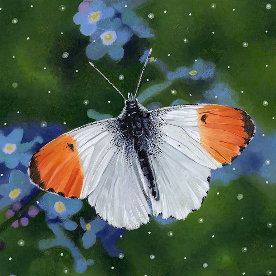'Orange Tip Butterfly' -Jodie Bews