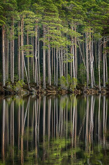 'Tall Pine, Loch Mallachie' Jan Holm
