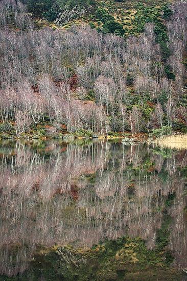 'Birch, Loch Pityoulish' Jan Holm