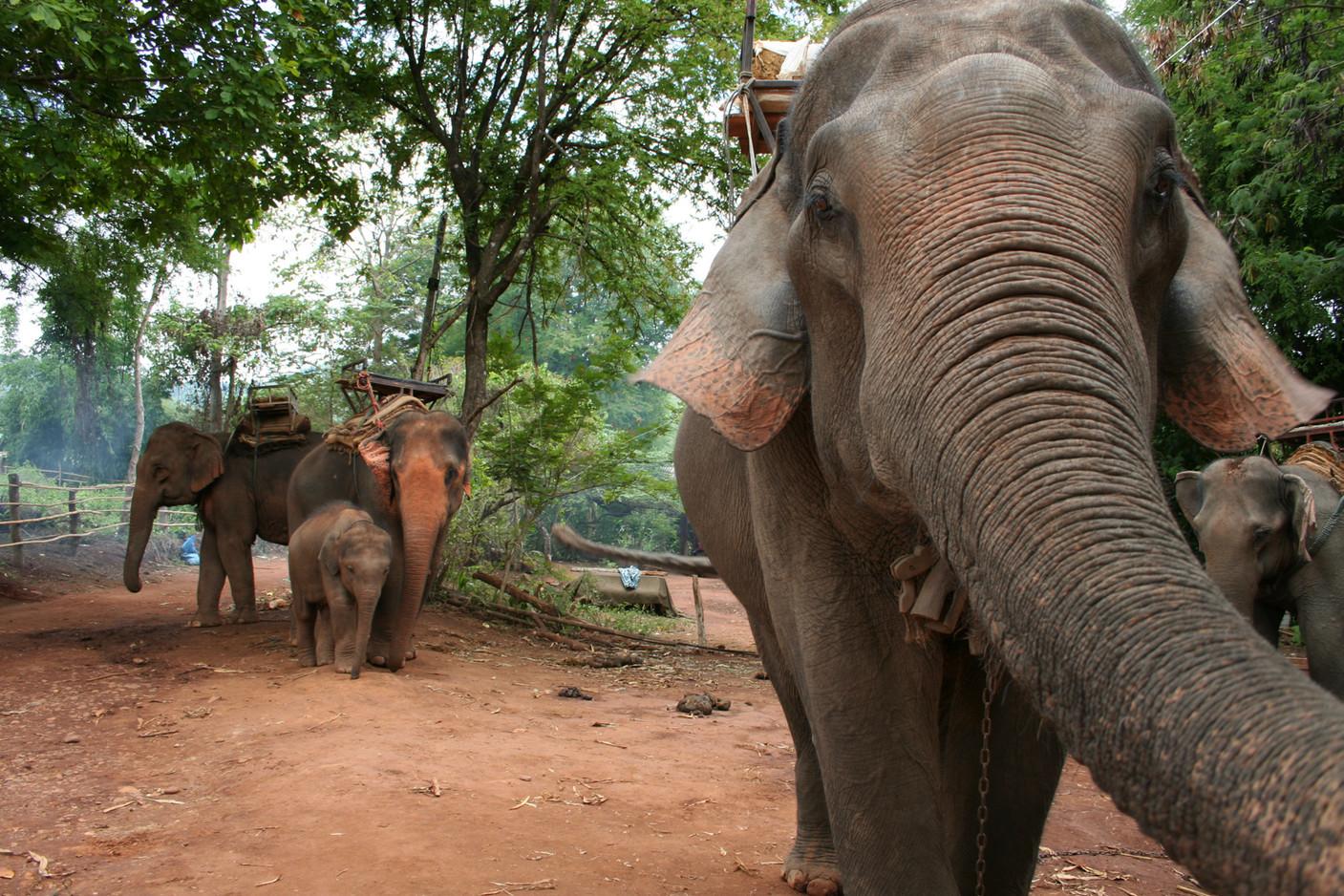 Elephant d'asie
