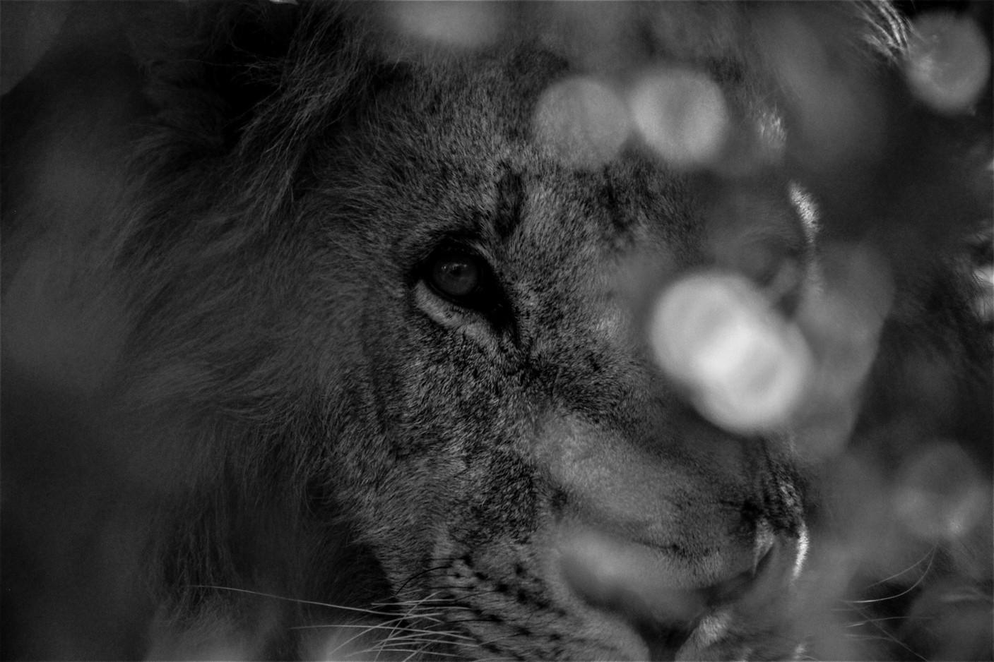 lion (buisson)