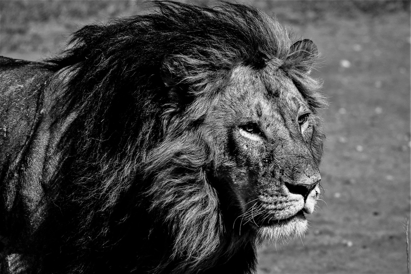 lion (profil)