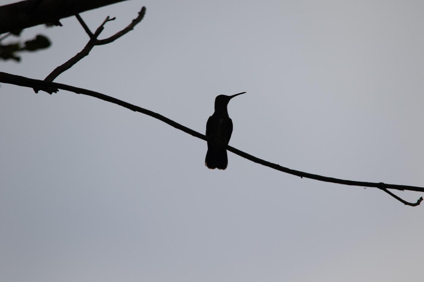 colibri Ombre chinoise (2)