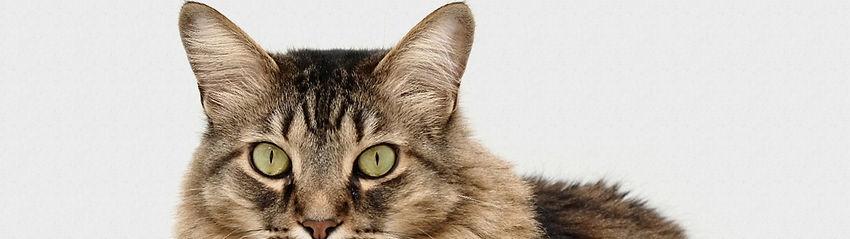 Cat on white background | Clover Basin Animal Hospital