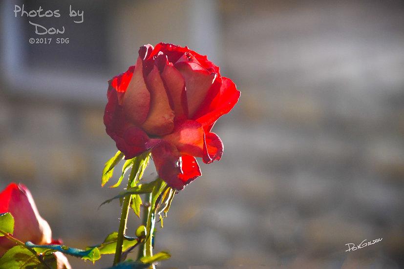 Dernière Rose de l'Automne