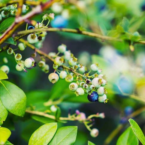 I was once a blueberry bush.