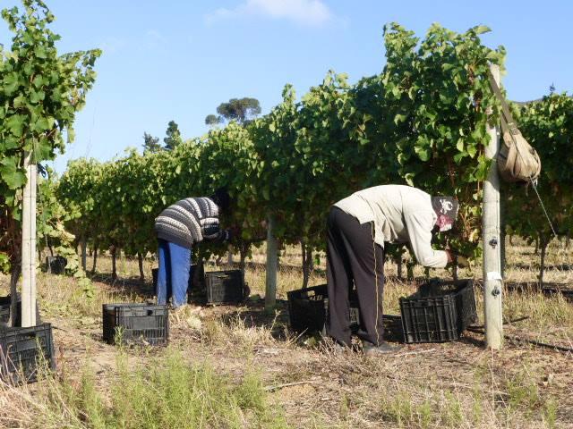 Seven Springs harvest in the vineyard