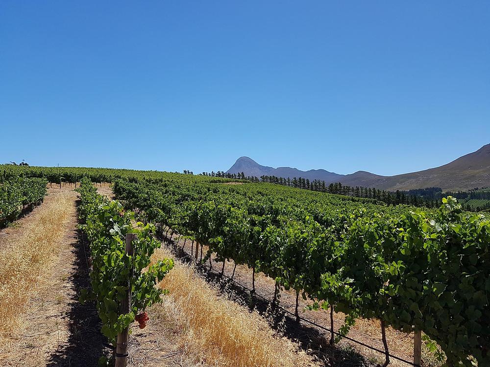 Seven Springs wine maker vineyard in South Africa