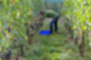 vendanges septem triones vignes