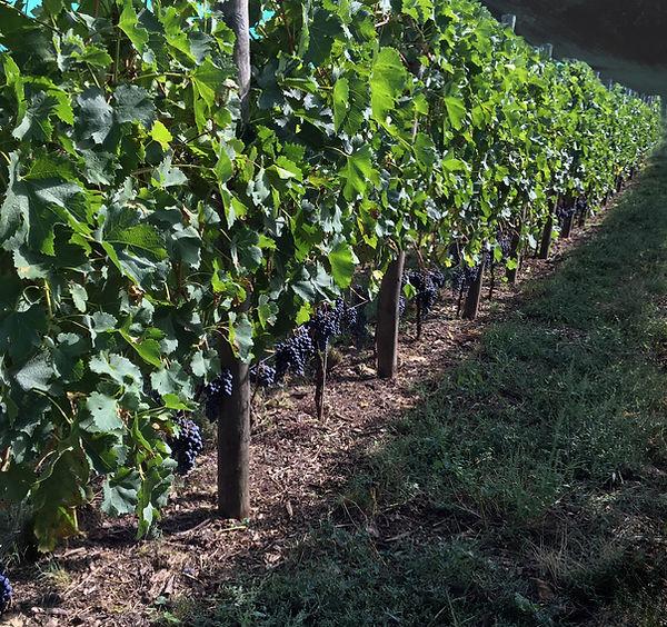 vignoble vignes septem triones