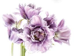 purple-fringed-tulips.jpg