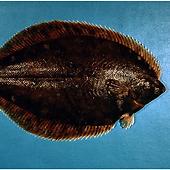 flatfish-15-eng.png
