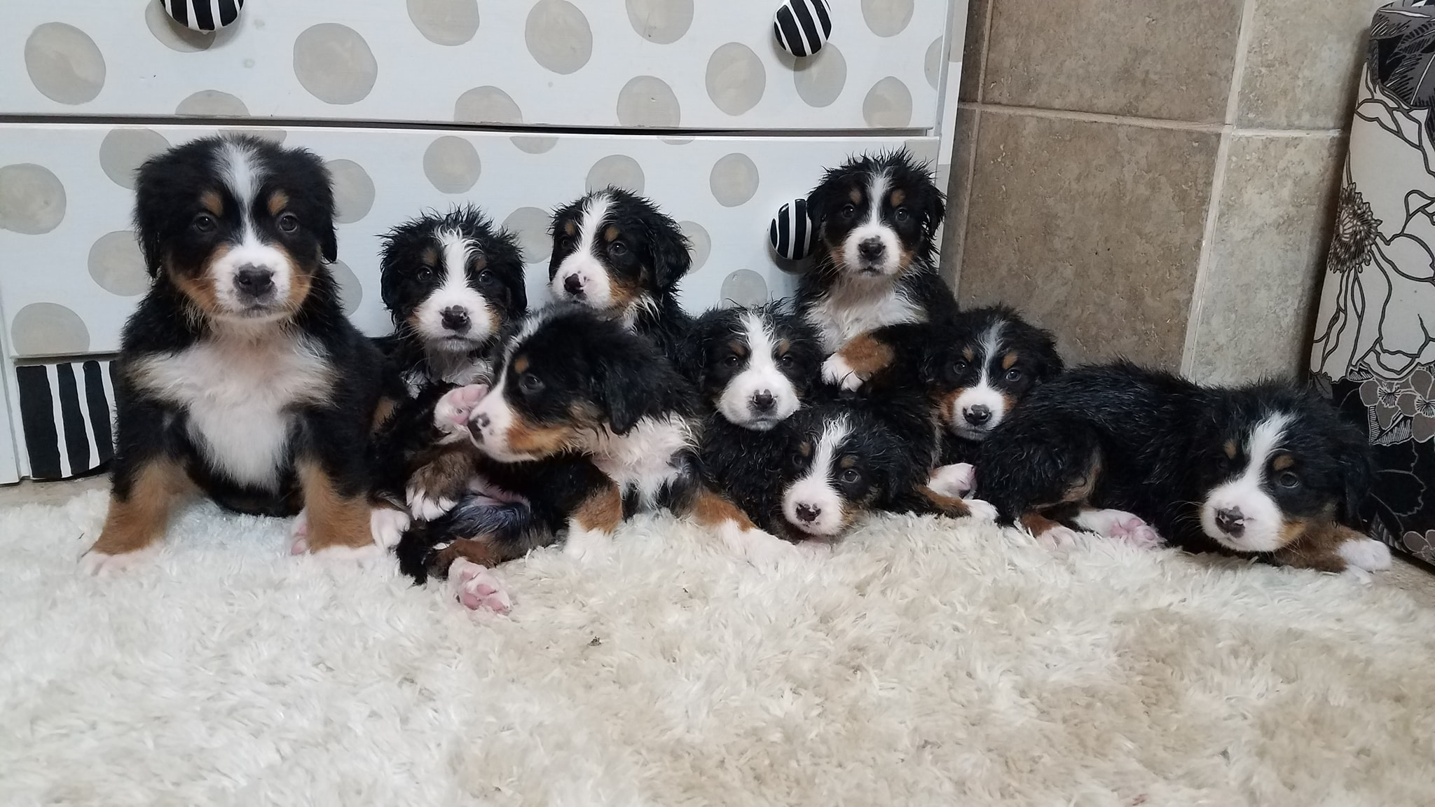 9  Pups 6 wks old Just Bathed