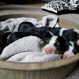 1 day old pups in tin 3.jpg