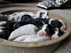 1 day old pups in tin