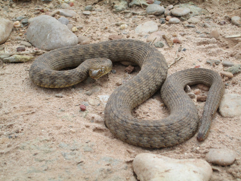 Concho watersnake